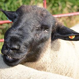 flexo eid sheep