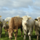 What is BVD?